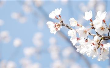 Cherry Blossom And Blue Sky All Mac wallpaper