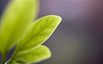 Tender Leaf Green All Mac wallpaper