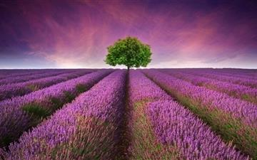 Lavender field Mac wallpaper