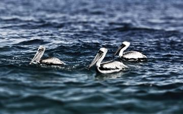 White Pelicans Mac wallpaper