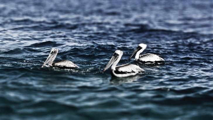 White Pelicans Mac Wallpaper
