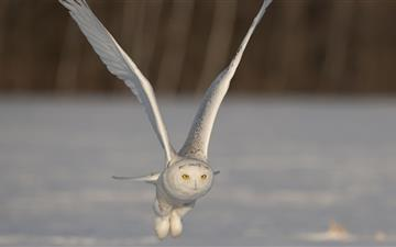 The white owl All Mac wallpaper