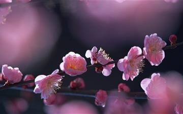 Pink Blossom Flowers Mac wallpaper