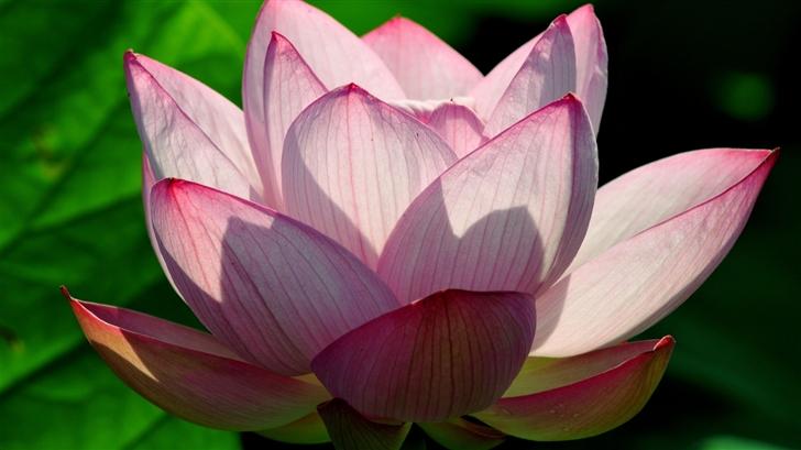 Lotus Flower Mac Wallpaper
