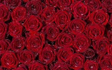 Red Roses Back Ground All Mac wallpaper