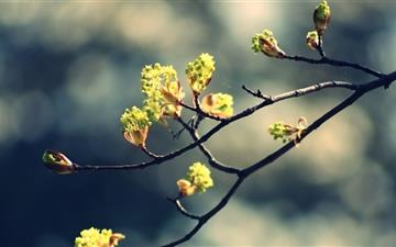 Blossom Twig Mac wallpaper