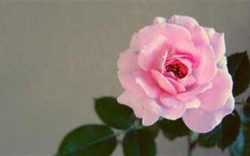Vintage Rose Mac wallpaper