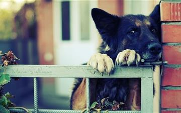 German Shephre Over The Fence Mac wallpaper