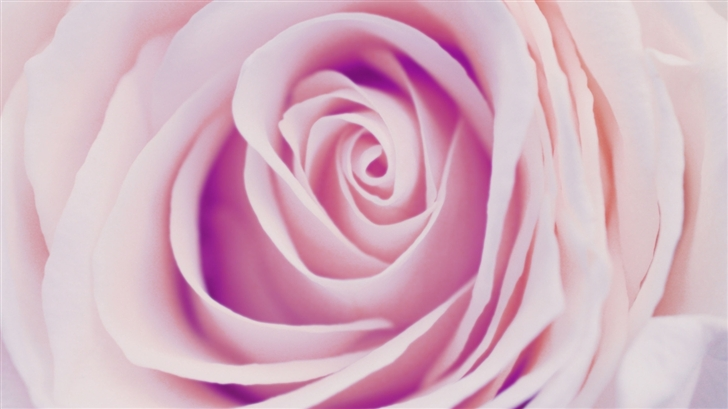 Delicate Rose Mac Wallpaper