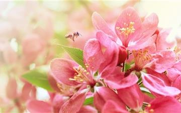 Pink Apple Flowers Mac wallpaper