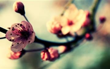 Cherry Blossom In Spring Mac wallpaper