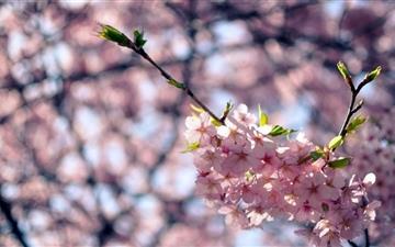 Sakura Flowers Mac wallpaper
