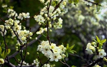 White Cherry Spring Flower Mac wallpaper
