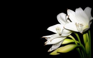 White Lily Mac wallpaper