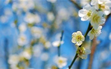 White Plum Blossom Mac wallpaper