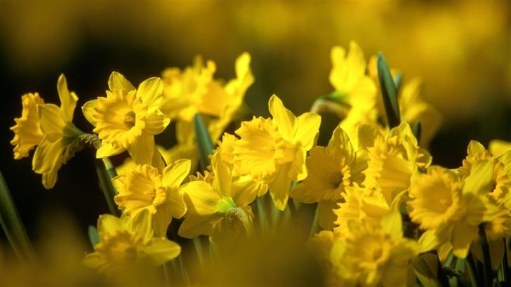 Yellow Daffodils Mac Wallpaper