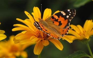 Butterfly Macro Summer Mac wallpaper