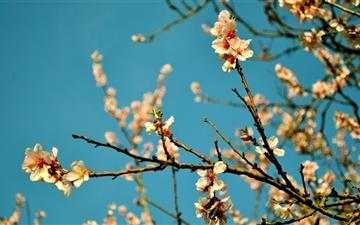 Peach Flowers Spring  Mac wallpaper