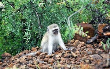 Baby Vervet Monkey Mac wallpaper
