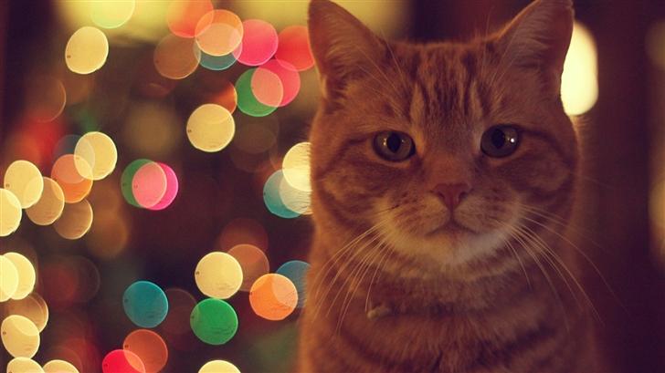 Ginger Cat Mac Wallpaper
