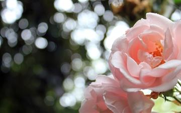 Light Pink Roses Bokeh All Mac wallpaper