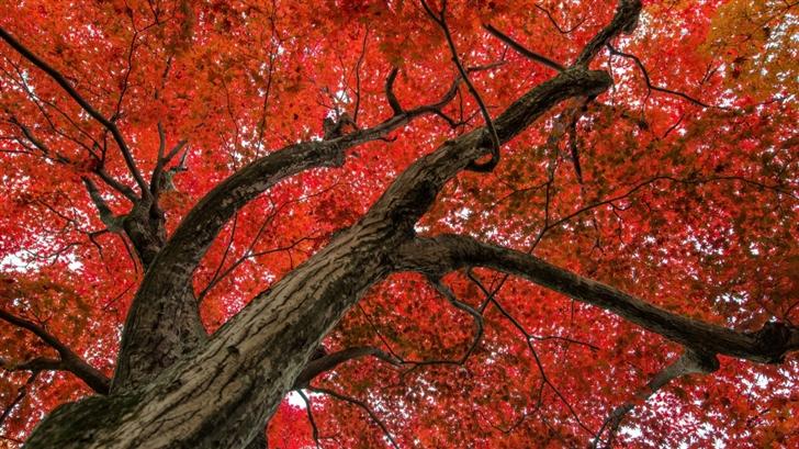 Japanese Maple Late Autumn Scene Mac Wallpaper