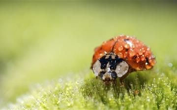 Ladybug Super Macro Mac wallpaper