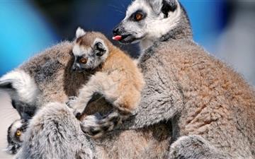 Funny Lemurs Mac wallpaper