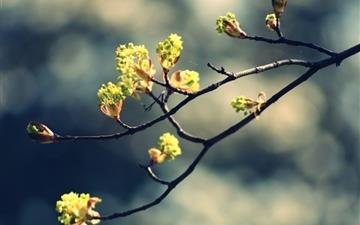 Blossom Twig 2 Mac wallpaper