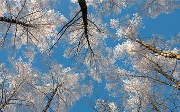 Birch Tree Tops Winter Mac wallpaper