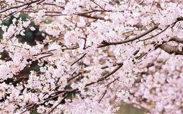 Cherry Tree Branches All Mac wallpaper
