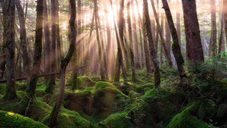 Pine Forest Sunrise Mac Wallpaper