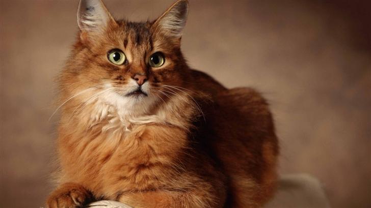 Red Cat Sitting On Armchair Mac Wallpaper