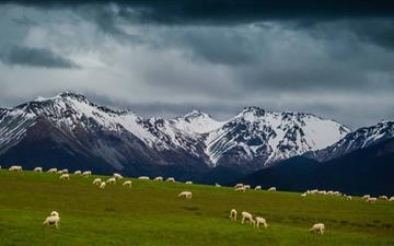 Sheep On Mountain Pasture All Mac wallpaper