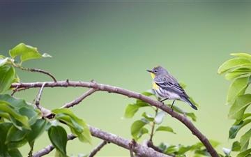 Small Gray Bird Mac wallpaper
