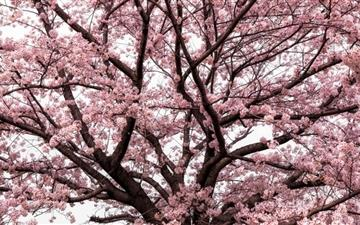 Soft Pink Japanese Cherry Tree Blossom All Mac wallpaper