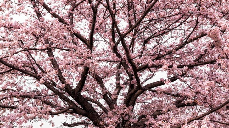 Soft Pink Japanese Cherry Tree Blossom Mac Wallpaper