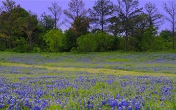 Texas Bluebonnet Field  Mac wallpaper