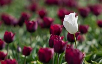 Violet Tulips Mac wallpaper
