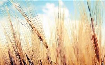 Wheat Ears Mac wallpaper