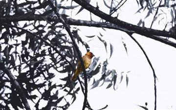 Yellow Bird Mac wallpaper