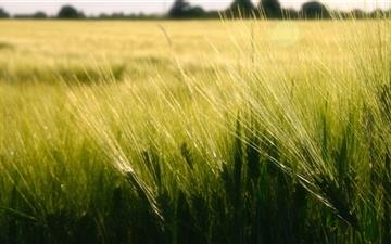 Wheat Germany Mac wallpaper