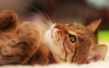 Cat Lying On Back Mac wallpaper