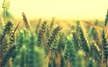 Ripe Wheat All Mac wallpaper