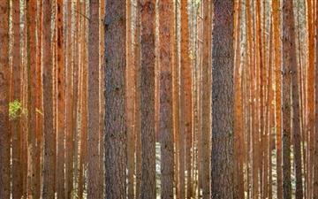 Pine Forest Mac wallpaper
