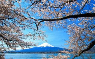 Sakura And Mount Fuji All Mac wallpaper