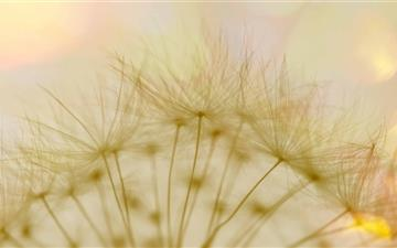 Macro Dandelion Fluff Mac wallpaper