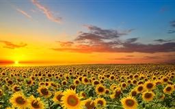 Sunset Over Sunflowers Field