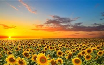 Sunset Over Sunflowers Field Mac wallpaper