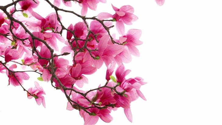 Pink Magnolia Flowers Mac Wallpaper